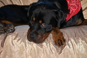 Rocky the Rottweiler, rescued on the day he was due to be put to sleep in the pound.
