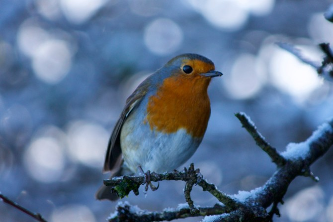 Robin on branch with snow